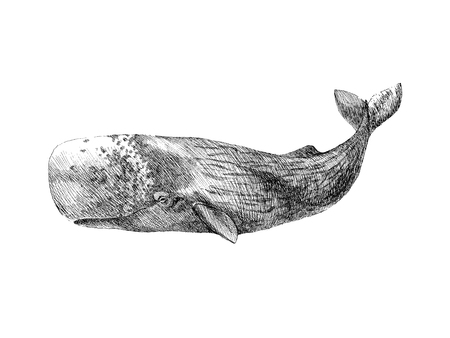 Graphical hand painted whale isolated on white background. Vector illustration.