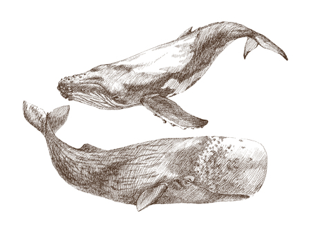 Set of Graphical hand painted whale isolated on white background. Vector illustration. Sperm whale and humpback whale