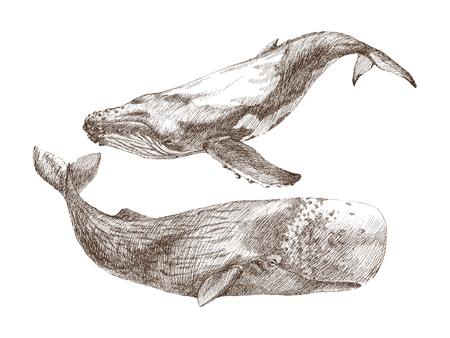 Set van grafische handgeschilderde walvis geïsoleerd op een witte achtergrond. Vector illustratie Potvis en bultrug