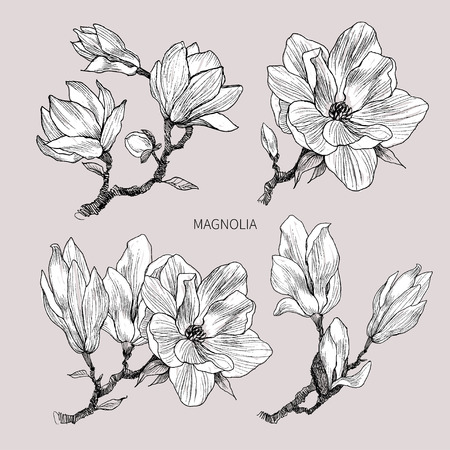Ink, pencil, the leaves and flowers of Magnolia isolate. Line art transparent background. Hand drawn nature painting. Freehand sketching illustration.