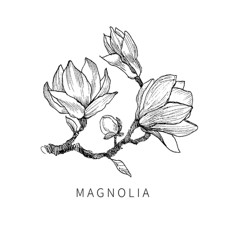 The leaves and flowers of Magnolia isolate. Line art transparent background.
