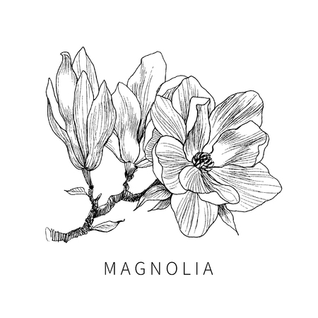 Foglie e fiori dell'isolato della magnolia. Line art sfondo trasparente. Pittura natura disegnata a mano. Vettoriali