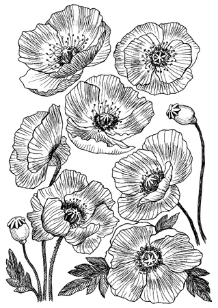 Poppy flower vector drawing set. Isolated wild plant and leaves. Herbal engraved style illustration. Detailed botanical sketch