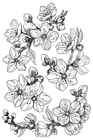 Almond blossom branch isolated on white. Vintage botanical hand drawn illustration. Spring flowers of apple or cherry tree.