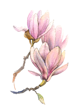 The spring magnolia watercolor flower branch isolated on white background