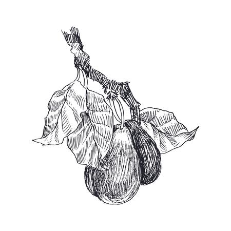 Botanical illustration of highly detailed hand drawn plums. Иллюстрация