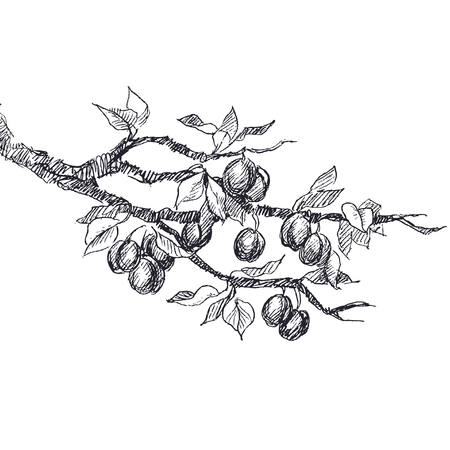 Botanical illustration of highly detailed hand drawn plums. Ilustracja