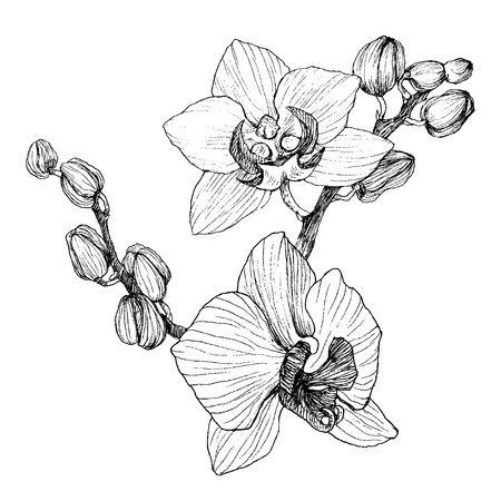 Hand drawn realistic vintage orchid flowers pen and ink illustration isolated.