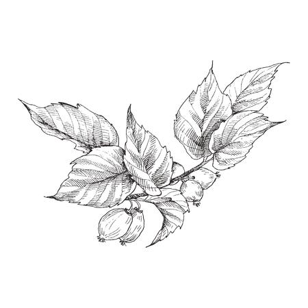 Dog rose briar Illustration