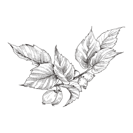 Dog rose briar Illustration