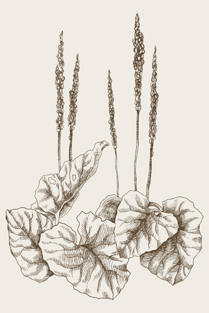 Illustration of Hand Drawn Sketch Delicious Fresh Green Greater Plantain Plants Isolated.