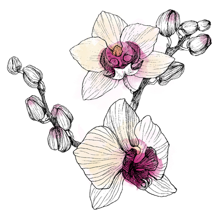 Hand drawn black outline orchid on a white background isolated. Highly detailed illustration with watercolor. Beautiful exotic flower.
