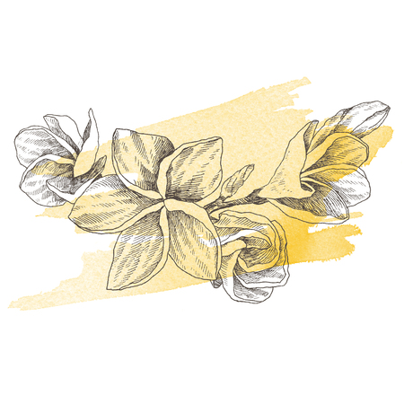 Hand drawn sketch tropical flower Plumeria. Botanical illustration engraving style with watercolor spot. Highly detailed line art isolated objects Stock Illustration - 100919102