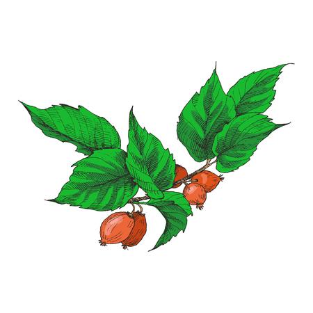 Hund Rose Briar. Medizinische Kräuter und Pflanzen isoliert auf weißer Hintergrundserie. Vektorillustration. Kunstskizze. Handzeichnungsobjekt der Natur. Vintage Gravurstil. Vektorgrafik