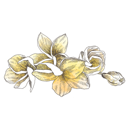 Hand drawn sketch tropical flower Plumeria. Botanical illustration engraving style with watercolor spot. Highly detailed line art isolated objects Stock Illustration - 100940277