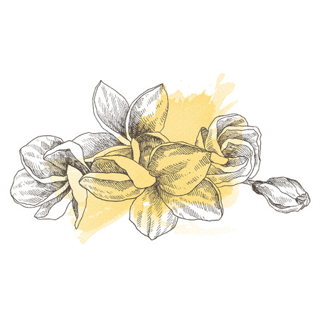 Hand drawn sketch tropical flower Plumeria. Botanical illustration engraving style with watercolor spot. Highly detailed line art isolated objects Stock Photo