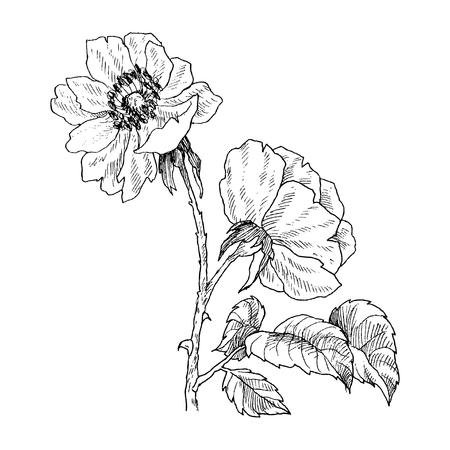 Wilder Rosenblütenzweig lokalisiert auf Weiß. Weinlese botanische Hand gezeichnete Illustration. Frühlingsblumen der Gartenrose, der Hundrose. Vektordesign