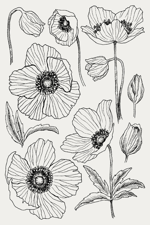 Anemone flower vector drawing set. Isolated wild plant and leaves. Herbal engraved style illustration. Detailed botanical sketch. Flower concept. Botanical concept.