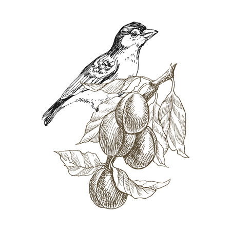 Sparrow bird hand drawn in vintage style with fruit branch. Spring bird sitting on plum branches. Linear engraved art. Bird concept. Romantic concept. Vector design Illustration