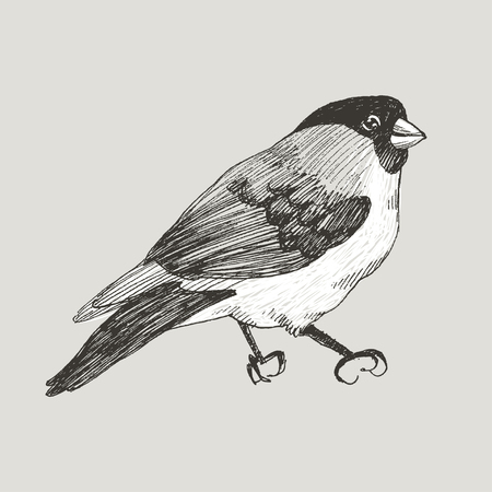 Vector graphic bullfinch hand drawn bird on retro graphic style. Ink drawing, vintage style. Cute bird for your design. High detailed illustration Banco de Imagens