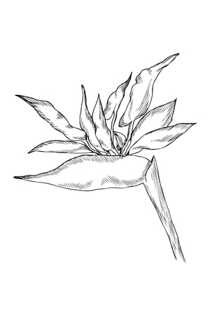 Graphic strelitzia flower. Vector exotic leaves and flowers isolated on white background. Coloring book page for adults and kids. Hand drawn style Illustration