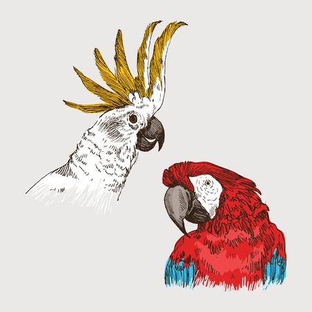 Parrot vintage engraved illustration. Hand drawn, sketch style Ilustração