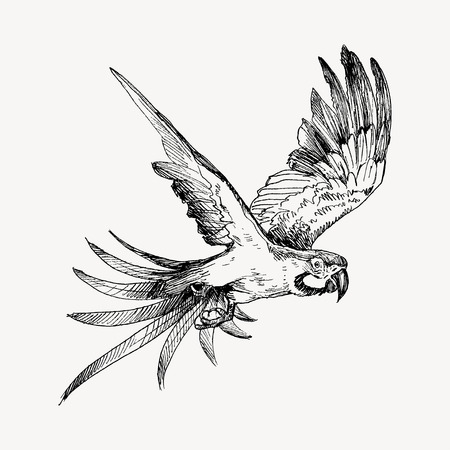 Parrot vintage engraved illustration. Hand drawn, sketch style Illustration