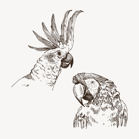 Parrot vintage engraved illustration. Hand drawn, sketch style