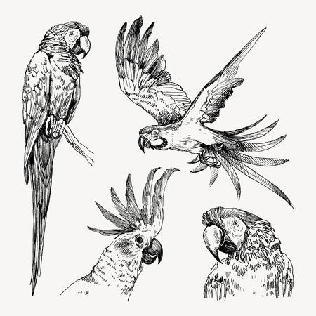 Kolekcja vintage grawerowane papuga. Ręcznie rysowane, styl szkic