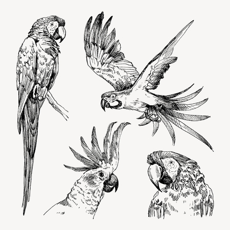 Parrot vintage engraved collection. Hand drawn, sketch style