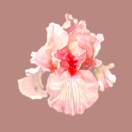Pink watercolor iris flower. Hand drawn illustration in sketch style for greeting cards, invitations, and other printing projects.