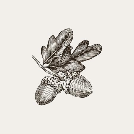 Handgezeichnete realistische Federzeichnung eines Eichenzweigs mit Eicheln isoliert auf Vintage-Hintergrund