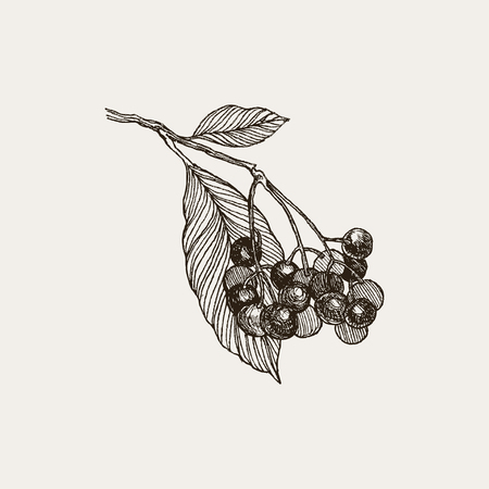 Blackberry. Vintage hand drawn illustration of bramble berries and leaves. Vector floral graphic elements isolated on white