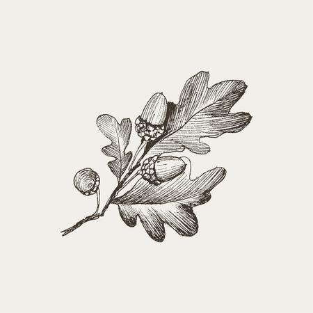 Dibujado a mano realista pluma y tinta dibujo de una rama de árbol de roble con bellotas aisladas sobre fondo Vintage
