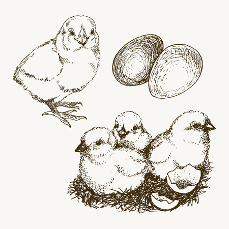 Chick, chickens, hand drawn chicken, chicken farm vector illustration sketch