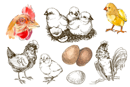 Watercolor and pencil hand drawing sketch chicken breeding set. Engraved Chicken, Roster, baby chick and egg illustrations. Rural natural bird farming. Poultry business. Stock Photo