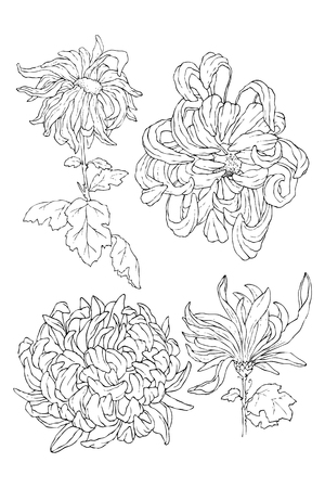 Chrysanthemum Hand drawn sketched vector illustration. Flower Doodle Flourish graphic with ornate pattern.