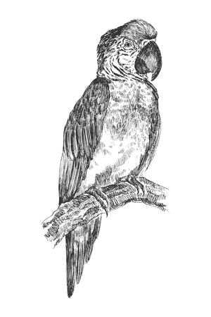 Hand drawn realistic sketch of a parrot, isolated on white background Ilustração