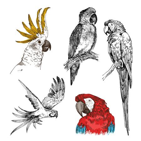 Papegaai vintage gegraveerde collectie. Handgetekend, schetsstijl Vector Illustratie