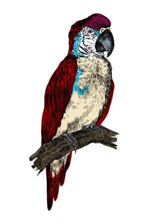 Parrot Macaw bird engraving vector illustration. Scratch board style imitation. Black and white hand drawn image. Ilustração