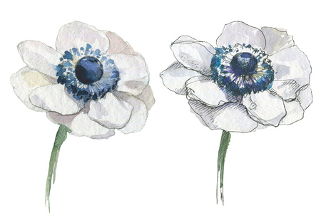 Anemone isolated illustration, classic floral objects for web and print. Watercolor hand drawing. Romantic design for natural cosmetics, perfume, women products. Can be used as greeting card or wedding background