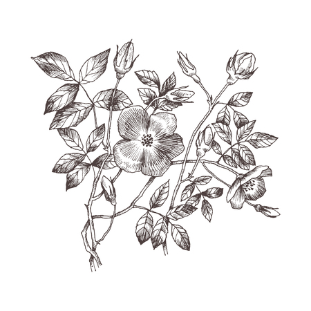 Wild roses blossom branch isolated on white. Vintage botanical hand drawn illustration. Spring flowers of garden rose, dog rose. Vector design. Can use for greeting cards, wedding invitations, patterns. Ilustração