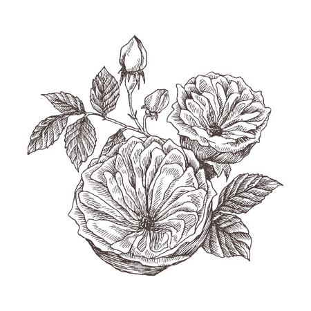 Wild roses blossom branch isolated on white. Vintage botanical hand drawn illustration. Spring flowers of garden rose, dog rose. Vector design. Can use for greeting cards, wedding invitations, patterns. Ilustracja