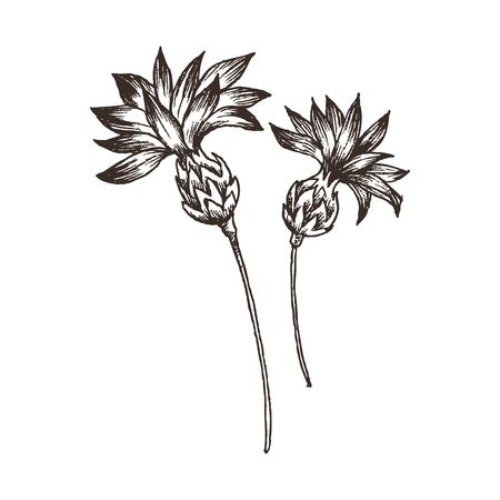 Vector floral objects. Herbs and wild flowers. Botanical Illustration engraving style. Ilustracja