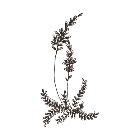 Vector floral objects. Herbs and wild flowers. Botanical Illustration engraving style. Ilustração