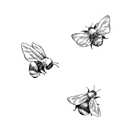 Bumblebee set. Hand drawn vector illustration. Vector drawing of tree honeybee. Hand drawn insect sketch isolated on white. Engraving style bumble bee illustrations. Ilustração