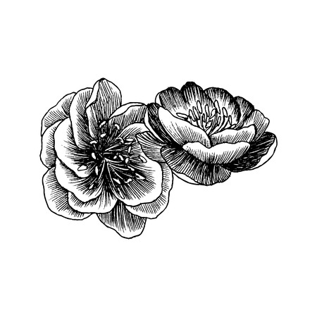 Wild roses blossom branch isolated on white. Vintage botanical hand drawn illustration. Vector design. Can use for greeting cards, wedding invitations, patterns. Ilustracja