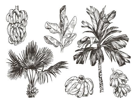Illustrazione vettoriale di schizzo isolato bianco nero del ramo grafico della palma e della frutta della banana