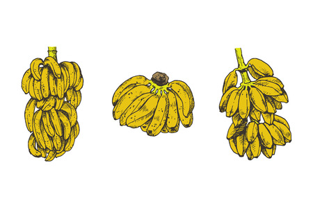 Banana fruit graphic branch isolated sketch illustration vector