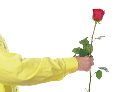 beautiful red rose with dew drops in the hand of man.  isolated on white background photo